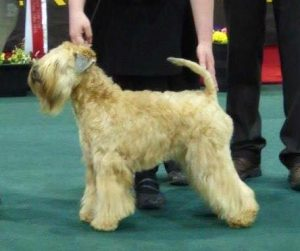Aura Soft coated wheaten terrier