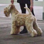 Silkcroft Crests Of Waves - Beckett - Silkcroft Soft-Coated Wheaten Terriers 2017