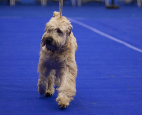 Silkcroft Waiting For You - Silkcroft Soft Coated Wheaten Terriers 2015