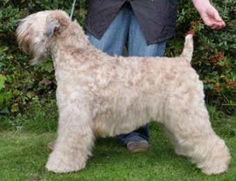 Tobamorrey Aint I Stunning At Silkcroft - Silkcroft Soft Coated Wheaten Terriers
