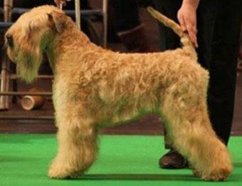 CH Tobamorrey Sitting Pretty At Silkcroft JW ShCM - Silkcroft Soft Coated Wheaten Terriers