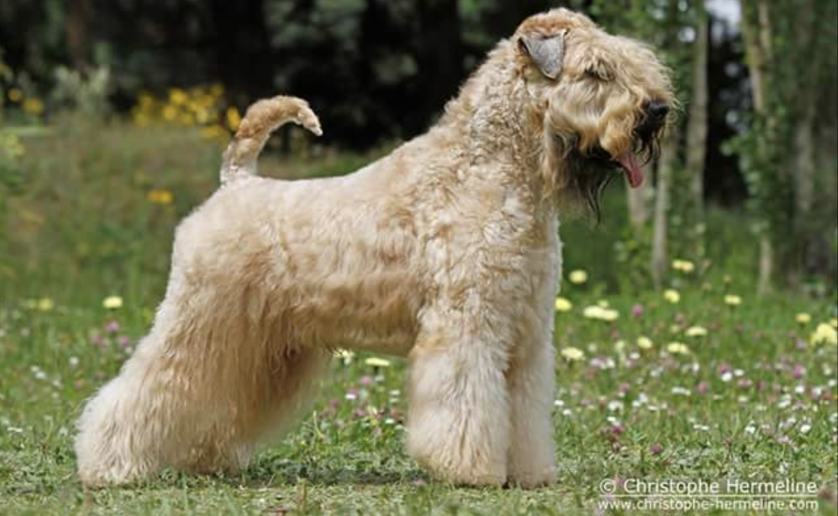 Logan - Silkcroft Soft-Coated Wheaten Terriers 2017