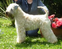 Silkcroft World Explorer - Silkcroft Soft Coated Wheaten Terriers