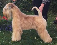 Silkcroft One Step Closer - Silkcroft Soft Coated Wheaten Terriers