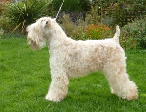Tobamorrey Aint Half Hot Mom - Silkcroft Soft Coated Wheaten Terriers