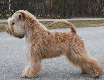 Lakkas Jubilee At Silkcroft (Imp Swe) - Silkcroft Soft Coated Wheaten Terriers