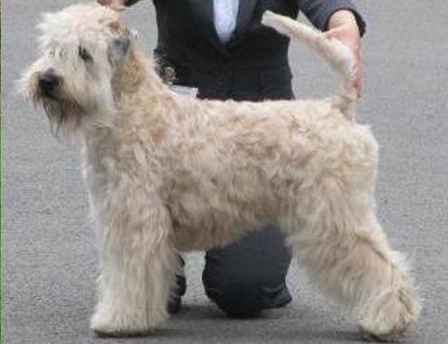 CH Silkcroft Light Fantastic ShCM - Silkcroft Soft Coated Wheaten Terriers