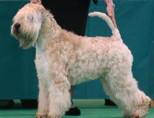 CH Elkis Aquila Of Silkcroft JW ShCM (Imp Swe) - Silkcroft Soft Coated Wheaten Terriers