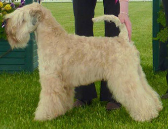 CH Silkcroft Colour Of Magic ShCM - Silkcroft Soft Coated Wheaten Terriers