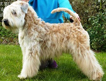 Silkcroft No More Games - Silkcroft Soft Coated Wheaten Terriers