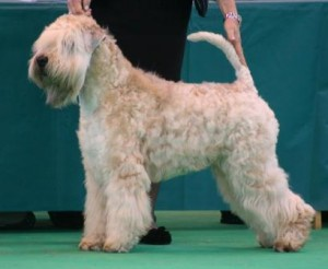 Ch Elkis Aquila Of Silkcroft JW ShCM (IMP SWE) - Silkcroft Soft Coated Wheaten Terriers 2015