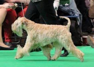 Silkcroft Soft Coated Wheaten Terriers - Our Girls