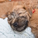 Silkcroft Wheaten Terriers - Libby's Puppy Week 7