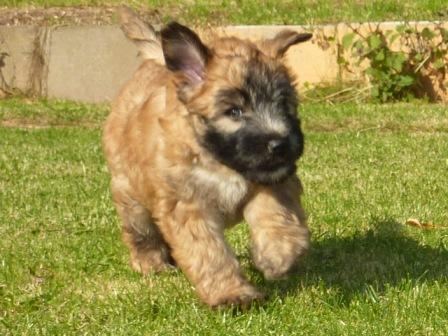 Silkcroft Soft Coated Wheaten Terrier Puppy