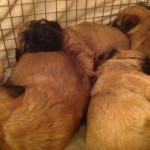 Silkcroft Soft Coated Wheaten Terrier Puppies