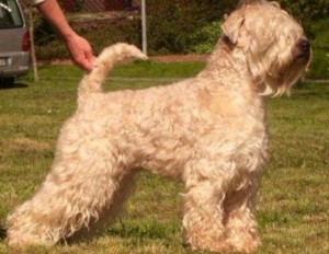 CH Hopla Big Foot Bobo - Silkcroft Soft Coated Wheaten Terriers