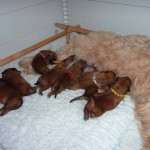 Silkcroft Puppies 2014