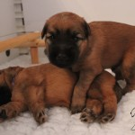 Silkcroft Wheaten Puppies Week 3 2014