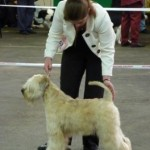 Silkcroft Soft Coated Wheaten Terriers