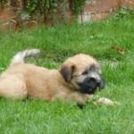 Silkcroft Soft Coated Wheaten Terrier Puppy
