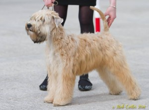 Silkcroft Sky Full Of Stars - Camborne 2014 - Silkcroft Soft Coated Wheaten Terriers