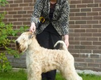 Bryson - Silkcroft Wheaten Terriers 2014