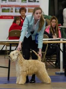 CH Silkcroft Colour Of Magic ShCM - Best Of Breed Plymouth & District 2014 - SIlkcroft Wheaten Terriers