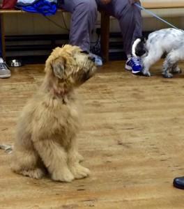 Silkcroft Wheaten Terriers - Puppy School November 2014