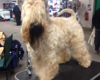 Silkcroft Wheaten Terriers - Modny Style Loverboy - Best Of Breed at Sedgley & Gornal 2014
