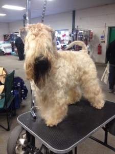 Silkcroft Wheaten Terriers - Modny Style Loverboy - Best Of Breed at Sedgley & Gornal 2014