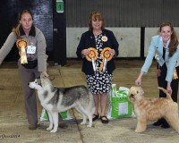 CH Silkcroft Colour Of Magic ShCM - Best Of Breed Plymouth & District 2014 - SIlkcroft Wheaten Terriers