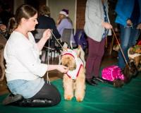 Perri Fancy Dress 2014 - Silkcroft Soft Coated Wheaten Terriers