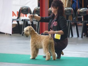 Silkcroft Waiting For You - Best Puppy In Breed at Merrienboer 2015
