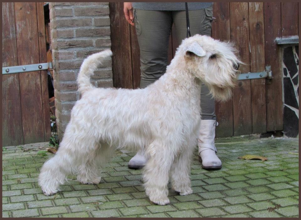 Haldane World Traveler - Silkcroft Soft Coated Wheaten Terriers 2015