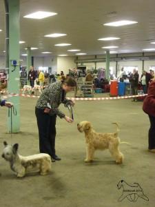 Silkcroft One Step Closer - Terrier Puppy Group 2 - Lichfield 2015 - Silkcroft Soft Coated Wheaten Terrier