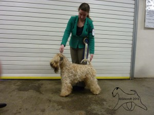 INT/SWE/IT CH Modney Style Loverboy At Seamrog (IMP RUS) - Best Of Breed & Terrier Group 2 - Lichfield 2015 - Silkcroft Soft Coated Wheaten Terrier