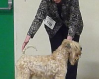 INT/SWE/IT CH Modny Style Loverboy At Seamrog (Imp Rus) - Silkcroft Soft Coated Wheaten Terriers - Manchester 2015