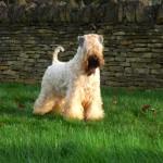 Silkcroft soft coated wheaten terrier