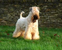 Silkcroft soft coated wheaten terrier