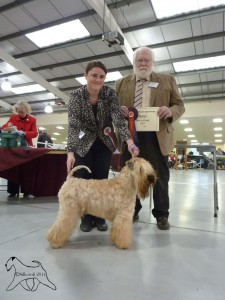 INT/SWE/IT CH Modny Style Loverboy at Seamrog (IMP RUS) - Worcester & Malvern 2015 - Silkcroft Soft Coated Wheaten Terriers