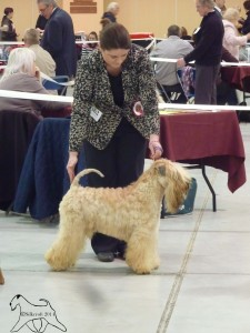 INT/SWE/IT CH Modny Style Loverboy at Seamrog (IMP RUS) - Silkcroft Soft Coated Wheaten Terriers