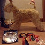 Silkcroft Sky Full Of Stars - Reserve Best Puppy In Show - Terrier Club of Devon & Cornwall - Silkcroft Soft Coated Wheaten Terriers 2015