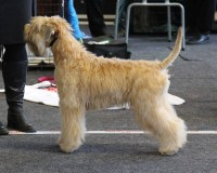 Silkcroft Your Heart To Me, Kolback 2015 - Silkcroft Soft Coated Wheaten Terriers 2015