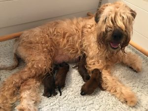 Week 1 - Silkcroft Soft Coated Wheaten Terriers 2017 - Perri 2017 Litter
