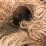 Week 1 - Silkcroft Soft Coated Wheaten Terriers 2017 - Perri 2017 Litter
