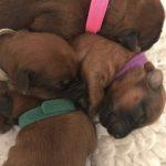 Week 1 - Silkcroft Soft Coated Wheaten Terriers 2017 - Perri Puppies