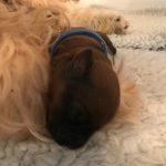 Week 2 - Silkcroft Soft Coated Wheaten Terriers 2017 - Perri Puppies