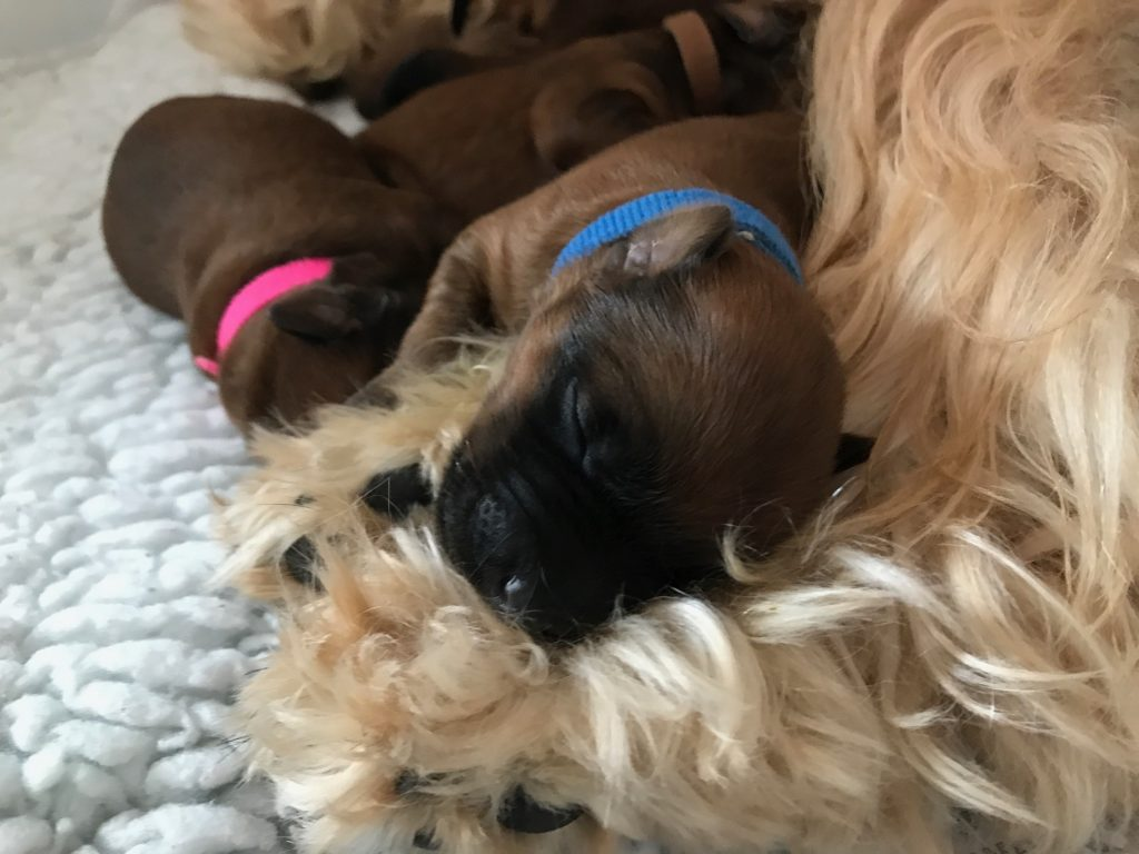 Week 2 - Silkcroft Soft Coated Wheaten Terriers 2017 - Perri Puppies