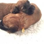 Silkcroft Soft-Coated Wheaten Terriers 2015