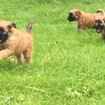 Silkcroft Soft-Coated Wheaten Terriers